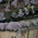 埼玉県さいたま市桜回廊【ドローン撮影 映像制作】